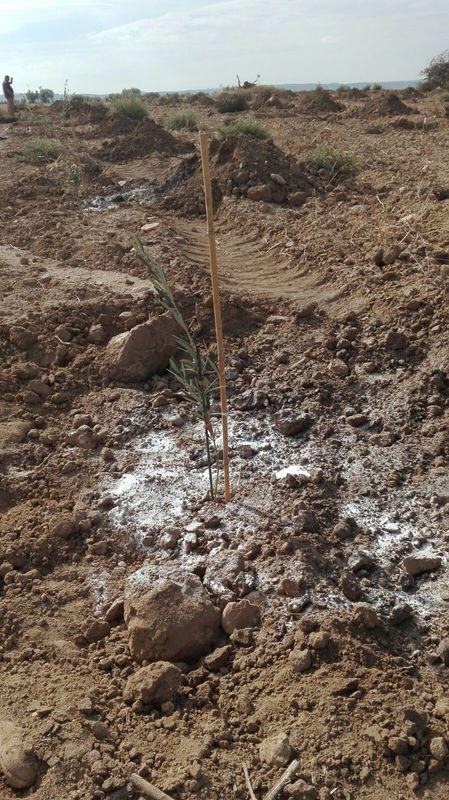 Crecimiento de plantones olivo - Página 2 2628kl2