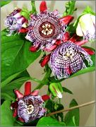 Passiflora alata DSCF0091