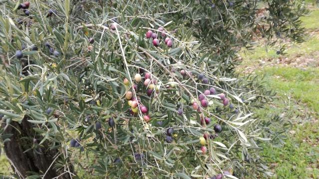 Selección de aceites de oliva virgen extra - Página 2 5bp4at
