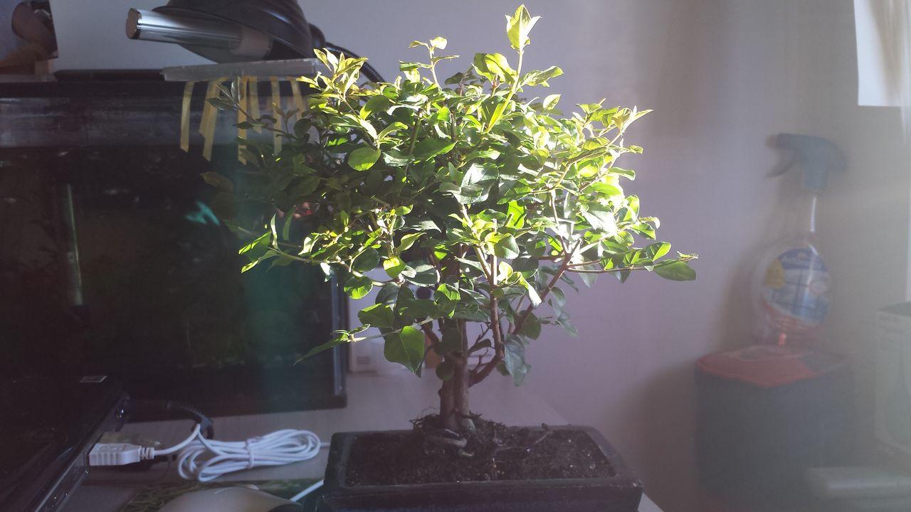 Mi primer bonsai un Sageretia Theezans (Ciruelo chino) 20150427_200311