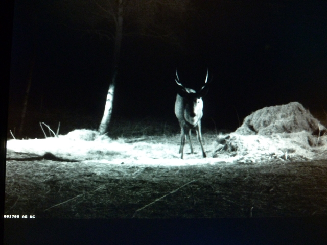 Red Deer Cam (Saarema Island)  - Page 5 2014_03_12_He_will_be_a_proud_animal_too_002