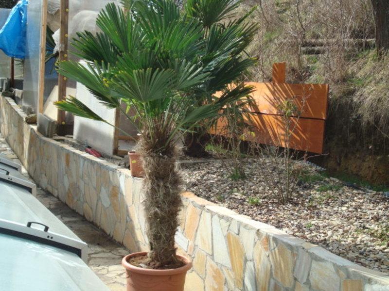 Trachycarpus fortunei var. Wagnerianus - Stránka 2 DSC08238