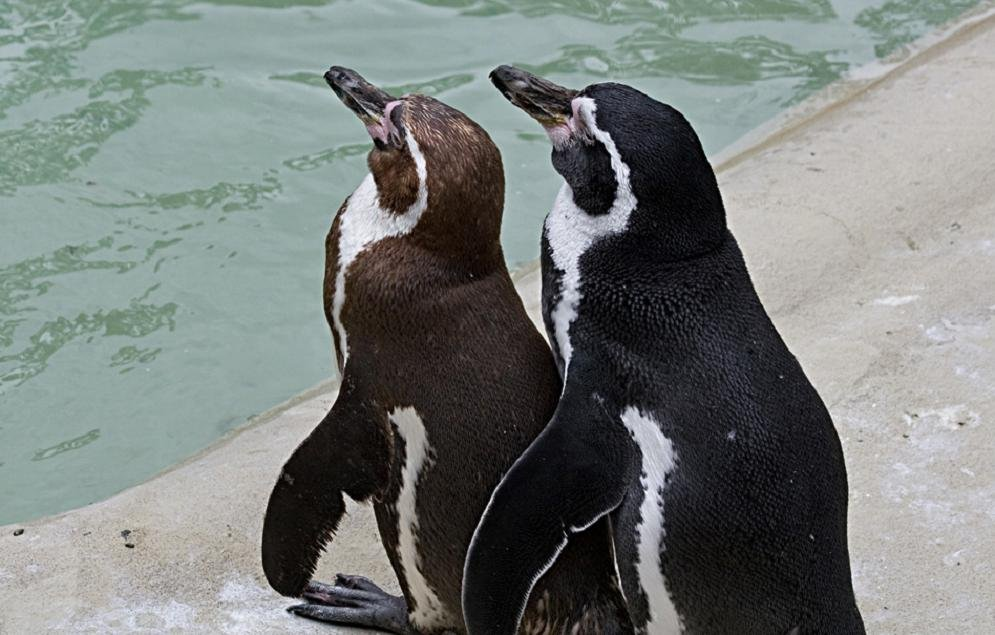 Pingvini - Page 3 08znyxmxar8