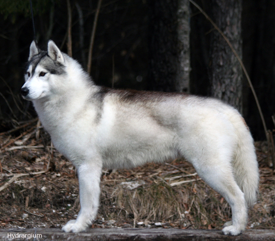 Sibirski Husky Tedy1_Feb12