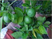Pomerančovníky - Citrus sinensis - Stránka 3 DSCF3031