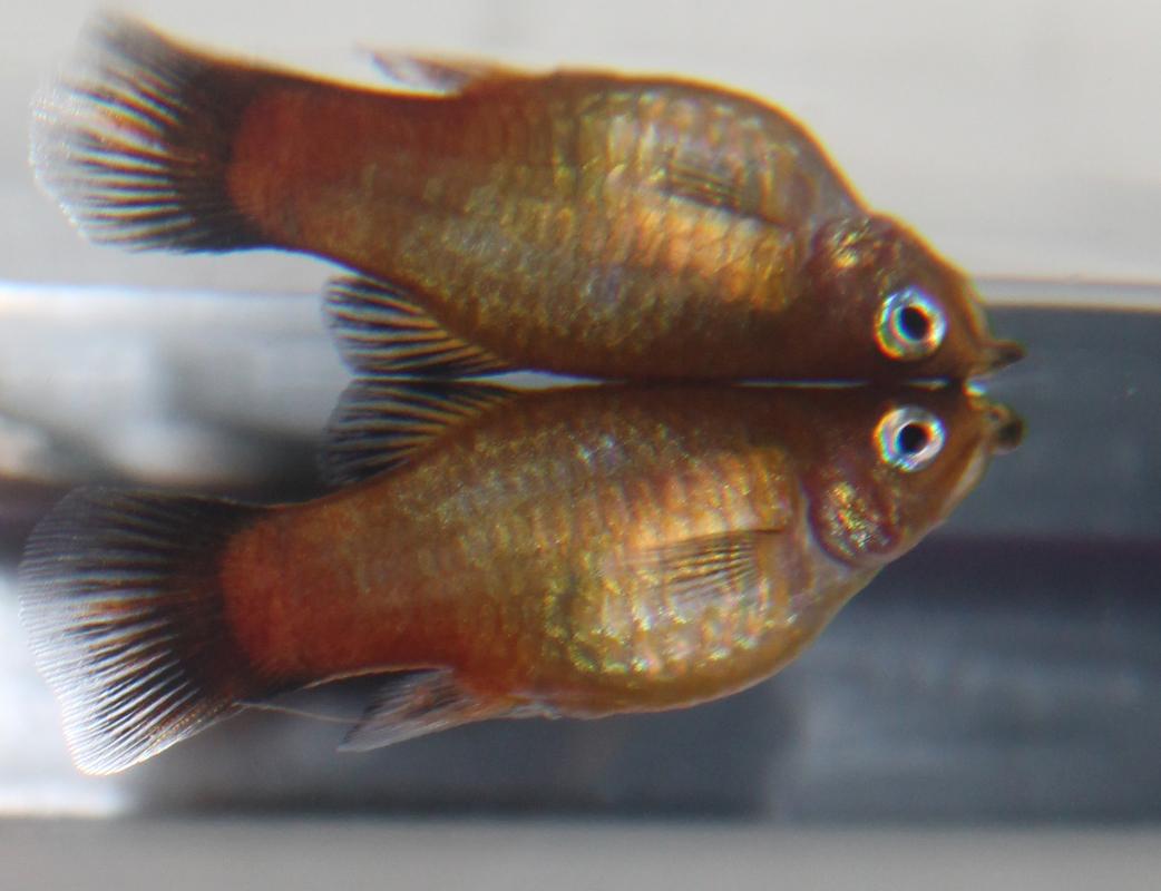 Non-Angel fish health problem Velvet_platy