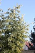 Bambusy - Stránka 2 IMG_8461