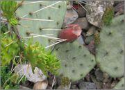 mrazuodolné opuncie - rod Opuntia - Stránka 2 IMG_2098
