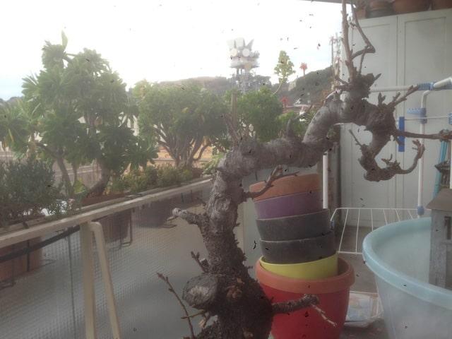 prunus mahaleb grossa talea IMG_0211