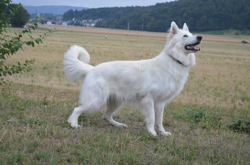 Beli švicarski ovčar - Page 6 993689_702806719733364_1785172129_n