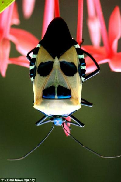 Los curiosos patrones de color en la naturaleza Cara_insecto3