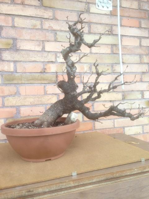 prunus mahaleb grossa talea IMG_3975