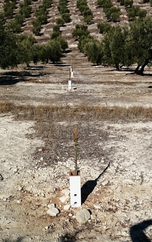 Crecimiento de plantones olivo Mifexe