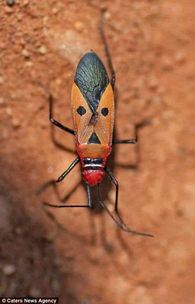 Los curiosos patrones de color en la naturaleza Cara_insecto8