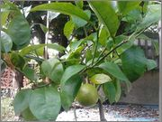Grepfruity - Citrus paradisi 2014_09_19_10_46_31