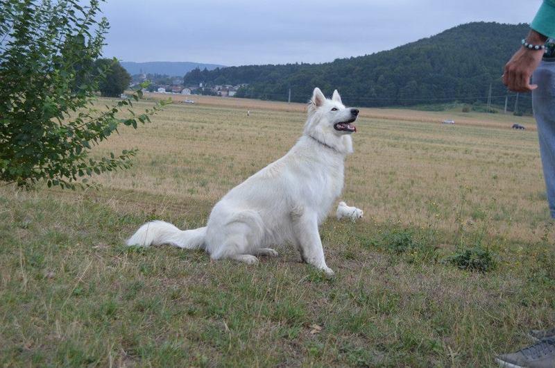 Beli švicarski ovčar - Page 6 1208807_702806773066692_1612505012_n