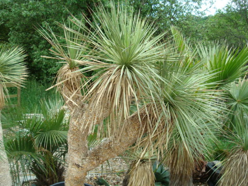 Mrazuodolné juky - rod Yucca - Stránka 5 DSC09427