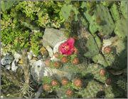 mrazuodolné opuncie - rod Opuntia - Stránka 3 IMG_2116