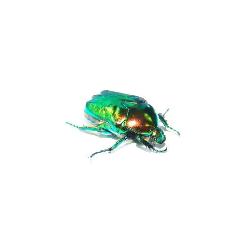 New Dispo : Coléoptères et Arthropodes 2881_thickbox_default