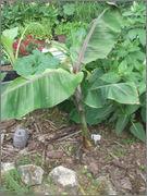 Musa sikkimensis - Stránka 2 DSCF5098