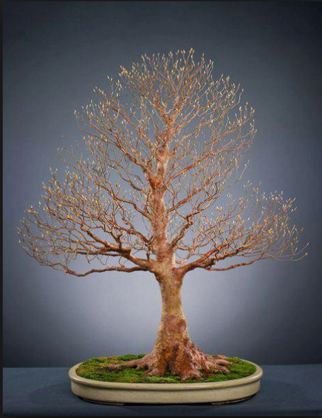 American Bonsai at the NC Arboretum - Page 39 Image