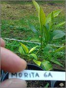 Pomerančovníky - Citrus sinensis - Stránka 2 2014_07_21_09_21_14