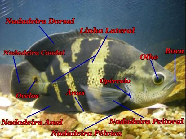 Conheça a Anatomia de um Peixe. Peixe_Oscar_anatomia_1