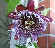 Passiflora alata DSCF0001