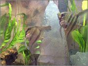 Sex of Angel Fish  Photo_1