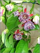 Passiflora alata DSCF0105