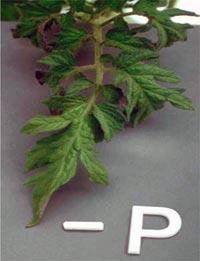 Nutrição de Plantas Aquaticas: Função, Deficiência e Fertilização. Nutricao_vegetal_4