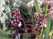 Orhidee in magazinele din tara Image