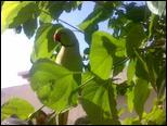 صور جدا جميلة ورائعة ميمو متو على شجرة التوت 317576_6106397