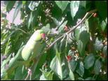 صور جدا جميلة ورائعة ميمو متو على شجرة التوت 317579_4192016