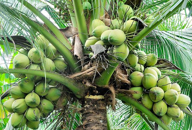 Thread for News on CSE and SL Economy  - Page 12 Coconut-Cultivation1