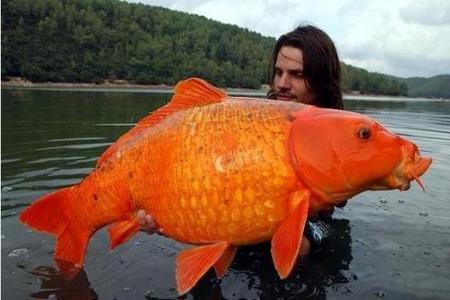 Excès de vitesse 2060034435-la-photo-d-un-poisson-rouge-geant-