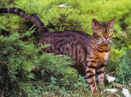 Chat alors! Bengal-chat-leopard