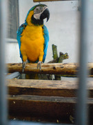 Ara papagaji ILCzA