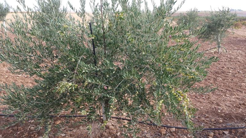 Variedad de olivos (Granada) 20151018_111559