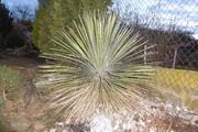 Mrazuodolné juky - rod Yucca - Stránka 10 P1010797