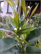 Pomerančovníky - Citrus sinensis - Stránka 2 2014_05_10_19_27_04