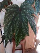Bégonia platanifolia ou non ? DSC01597_REDIM