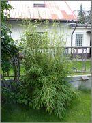 Bambusy - Stránka 2 16_6_2015_14