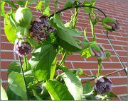 Passiflora alata DSCF0060