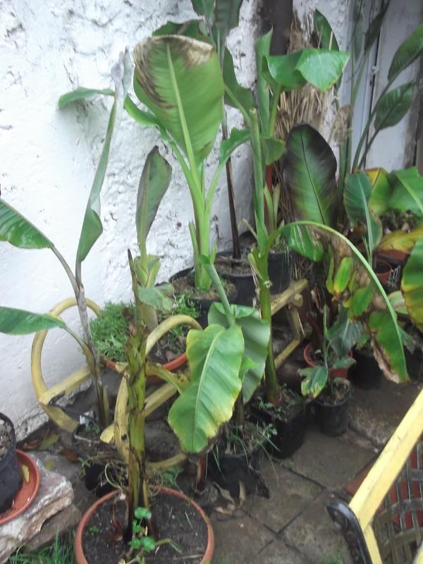 Zimování mrazuodolných banánovníků DSCF6814