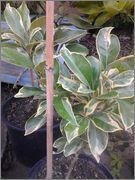 Pomerančovníky - Citrus sinensis - Stránka 2 2014_07_22_19_08_27