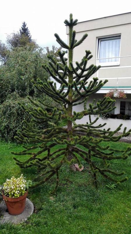 Araucaria araucana 14803220_10206078916726379_520465604_o