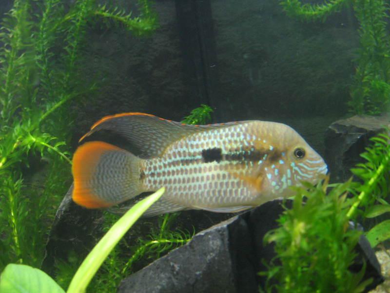 Colaborem: Fotos de Peixes e Plantas Aquáticas - Página 2 IMG_1051