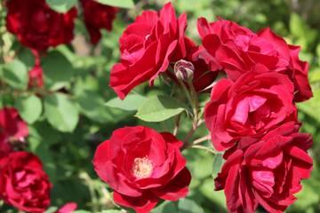 Канадские розы - Страница 2 G2sqc