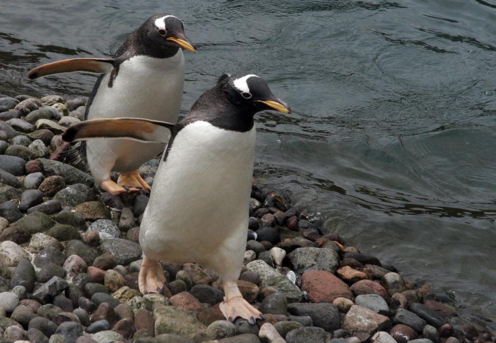 Pingvini - Page 3 8wyvg83b07n